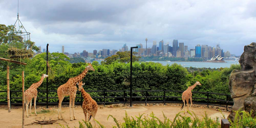 Giraffes at Taronga Zoo have the best view back over Sydney