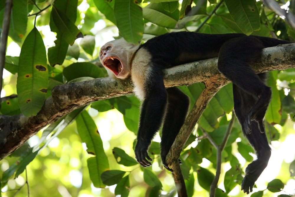 A wild Capuchin Monkey in Costa Rica, Cebus capucinus. Photo: Matt Tilghman/Shutterstock