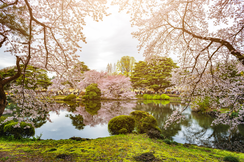 Sakura trees blossom at Tokyo's Kitanomaru Garden, Japan