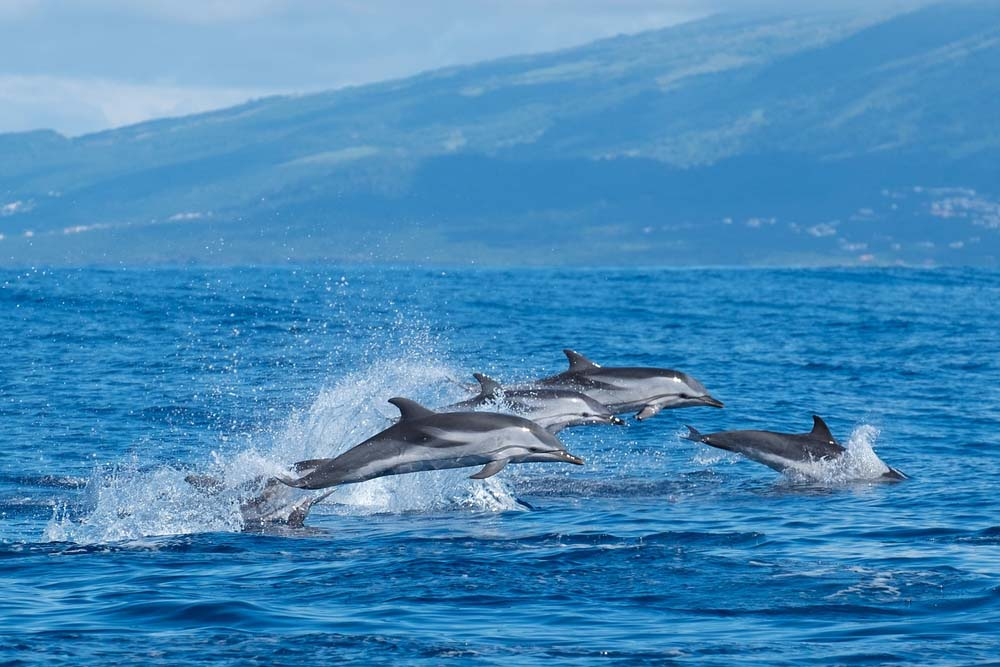 Azores dolphins.