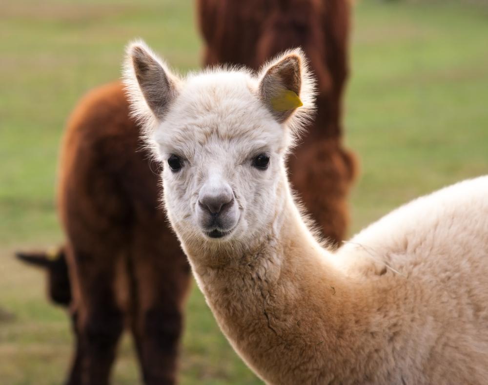 A curious alpaca. Photo: Shutterstock