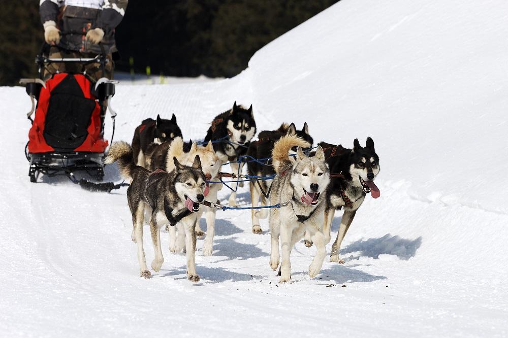 Dog sledding in Farmington. Photo: prochasson frederic/Shutterstock