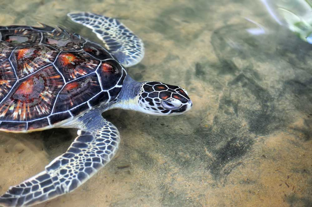 Turtle in the wild on the island, Sri Lanka.