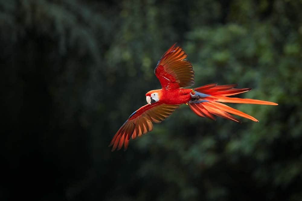 Ara macao, Scarlet Macaw at Manu National Park. Photo: Shutterstock