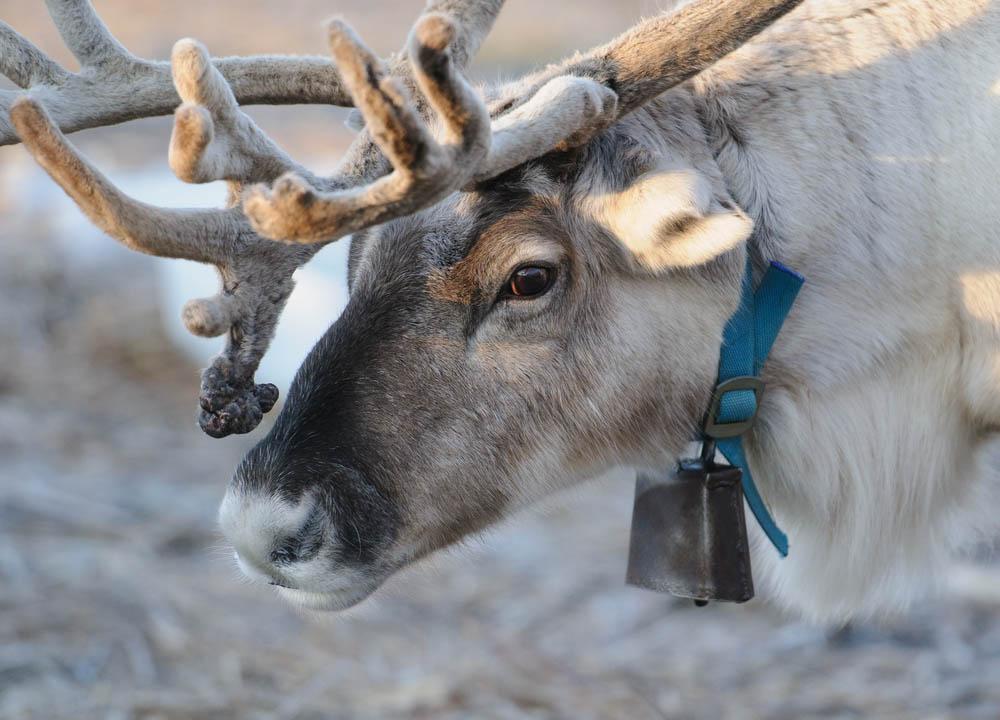 Lapland reindeer.