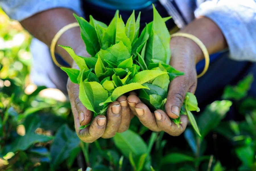 Fresh tea leaves.