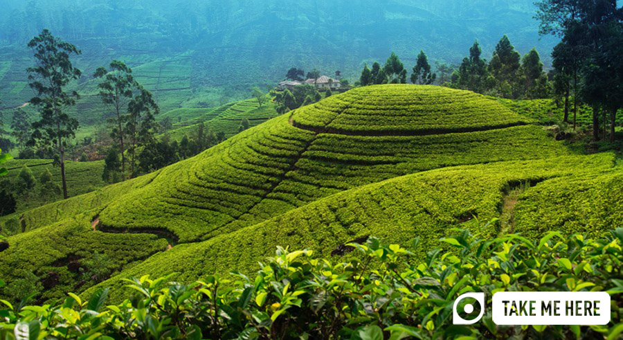 A tea plantation in Sri Lanka.