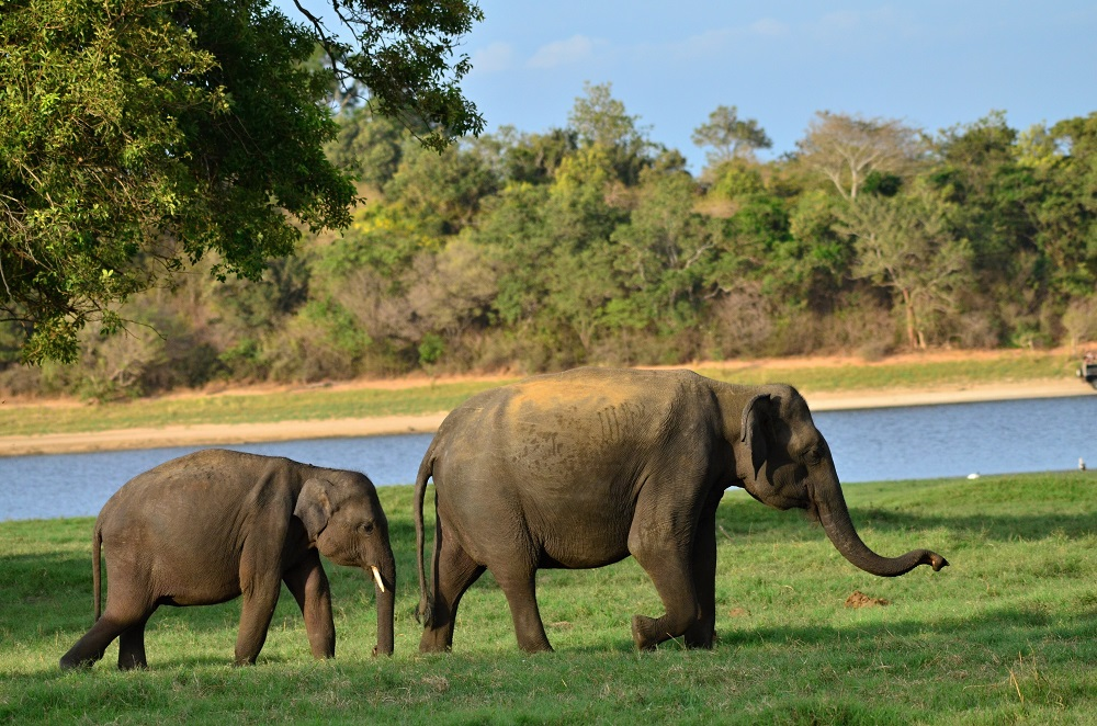 Elephants, or elephas maximus maximus, in Sri Lanka. Photo: Marek Velechovsky/Shutterstock