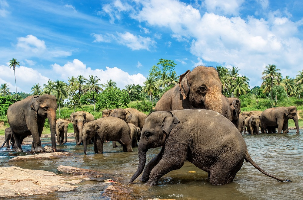 Pinnawela Elephant Orphanage. Photo: SurangaSL/Shutterstock