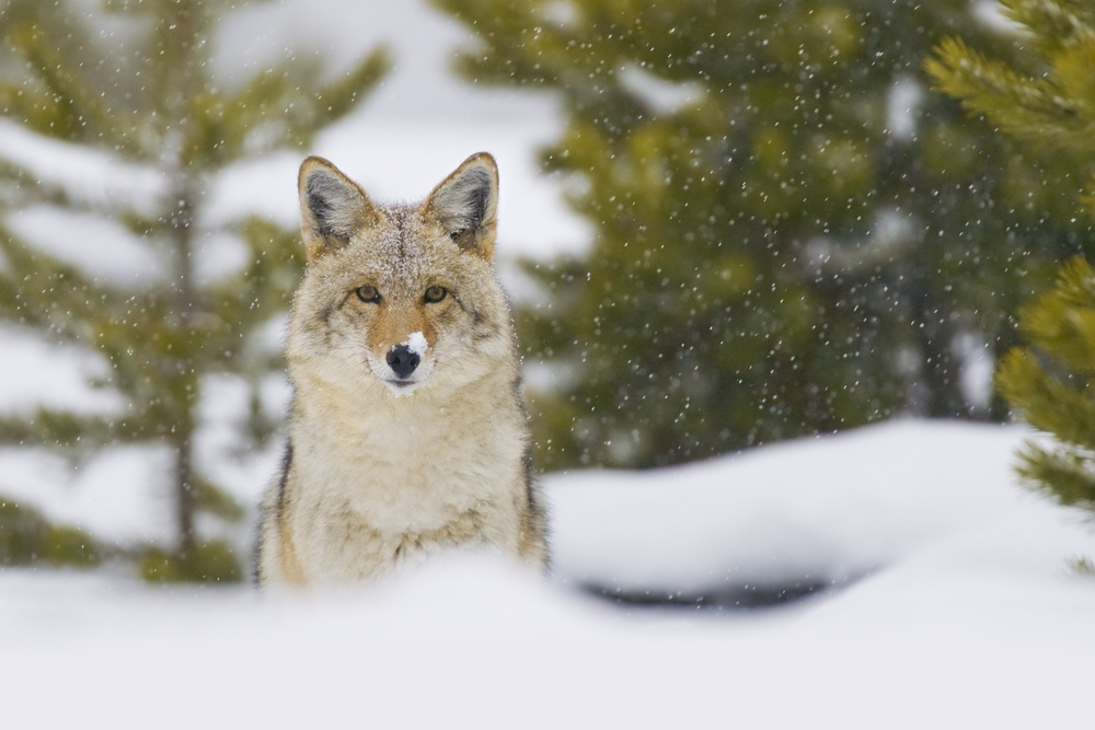 Coyote (Canis latrans) in a snow storm in Yellowstone National Park. Photo: Hal Brindley/Shutterstock