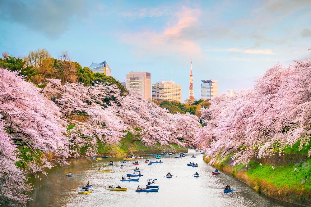 Chidorigafuchi park in Tokyo during sakura season in Japan.