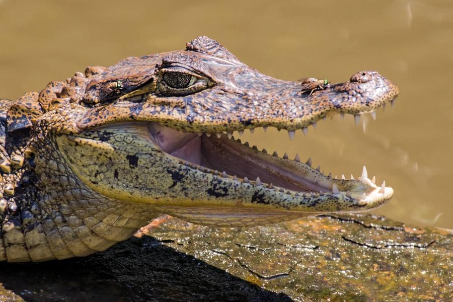 A 'smiling' crocodile in Tortuguero National Park – Costa Rica