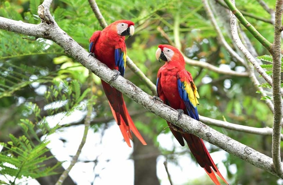 A pair of wild scarlet macaws in Corcovado National Park, Costa Rica