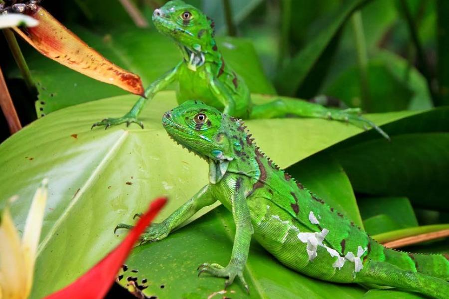 Green iguanas in Tortuguero National Park