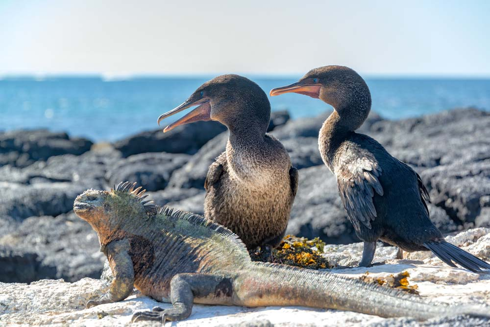 Two flightless cormorants and a marine iguana on Fernandina.