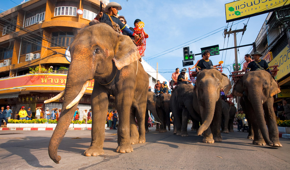 Herd of elephants and riding tourist passengers marching in downtown Surin during the annual Surin Elephant Roundup parade.
