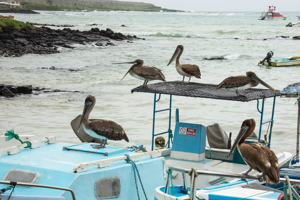 Ecuador's brown pelicans waiting for a catch. Photo: Shutterstock
