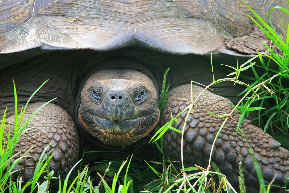 A giant Galapagos turtle, Galapagos islands, Ecuador, South America. Photo: Shutterstock