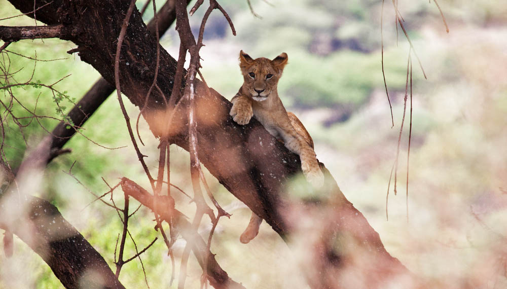 oung lion relaxing in a tree in Lake Manyara National Park, Tanzania.
