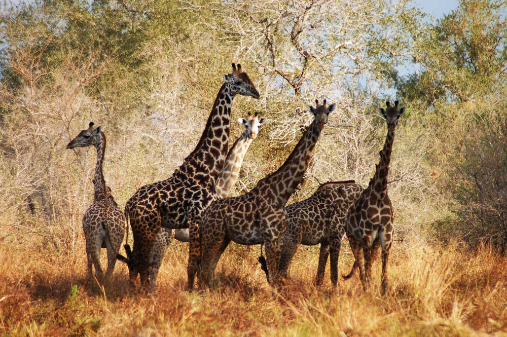 Maasai giraffes at Selous Game Reserve, Tanzania.