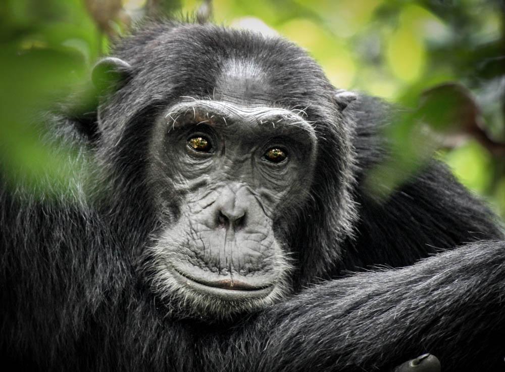 Chimpanzee in Tanzania.