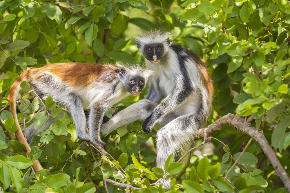 Colobus monkeys in Jozani-Chwaka Bay National Park, Zanzibar, Tanzania.
