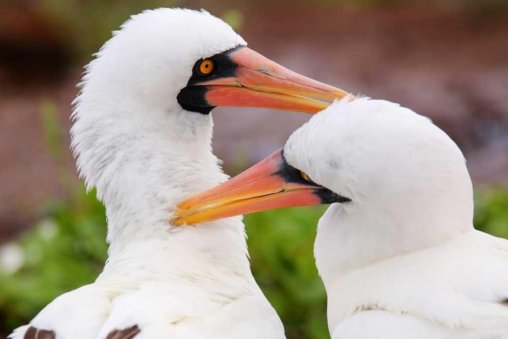 A couple of Nazca boobies preen each other at Galápagos National Park