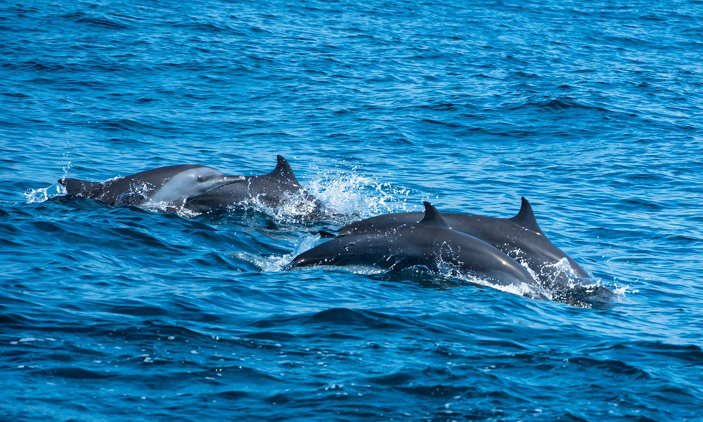A pod of dolphins near Kalpitiya. Photo: SurangaSL/Shutterstock