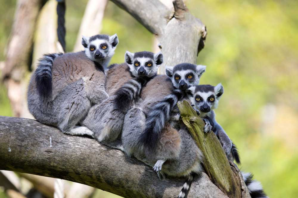 Family of Ring-tailed Lemur, Madagascar. Photo: Shutterstock