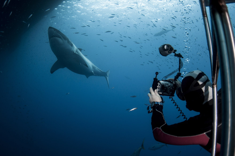 Tourist Taking a Picture of a Great White Shark in South Africa. Photo: Shutterstock