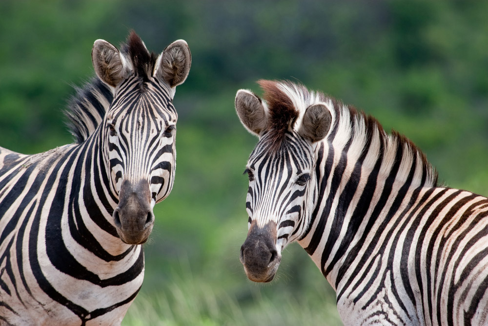 Two Burchell's Zebra in Hluhluwe-iMfolozi Game Reserve. Photo: Shutterstock