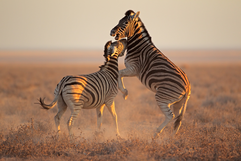 Safari in Etosha National Park, Namibia. Photo:  EcoPrint/Shutterstock