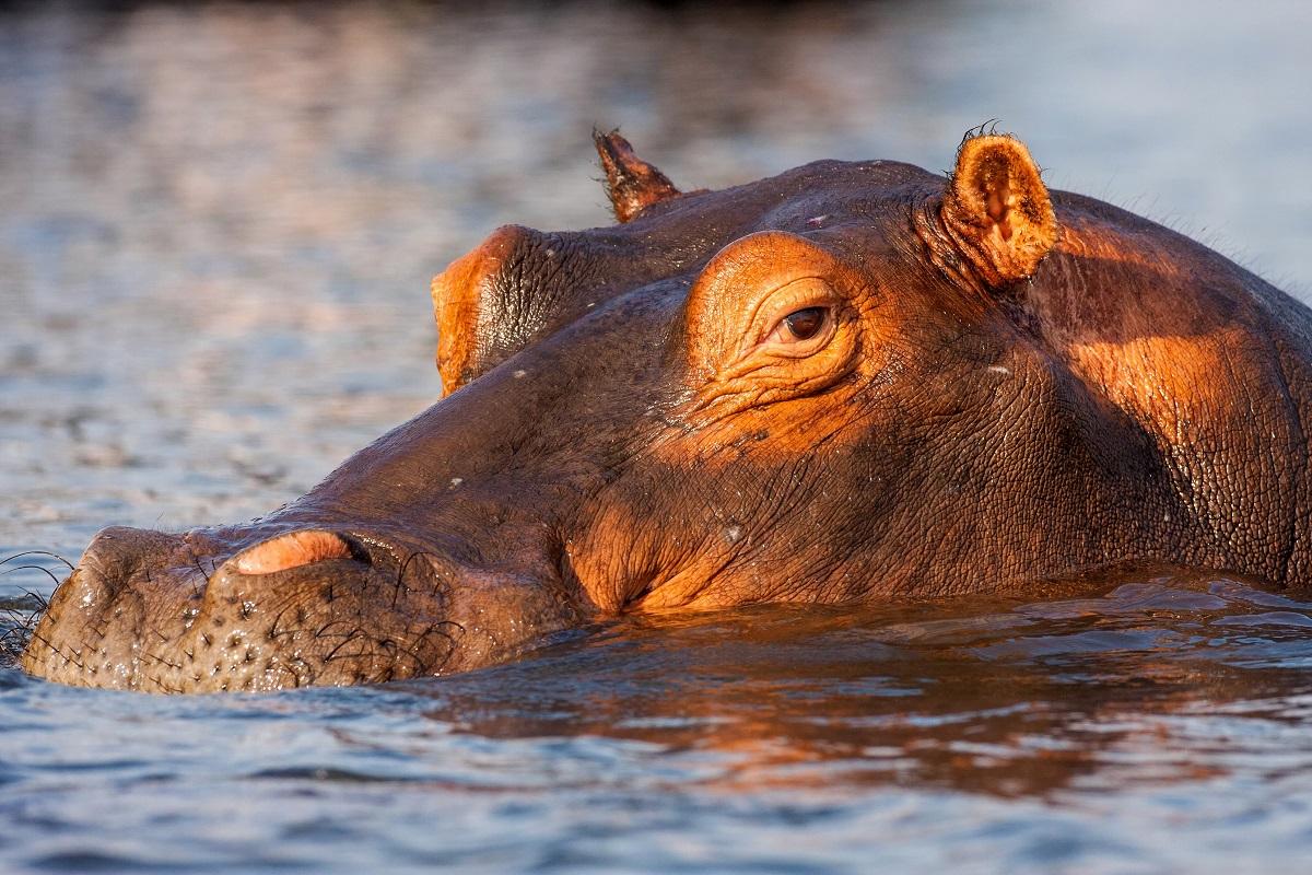 Hippopotamus amphibius. Photo: Vladislav T. Jirousek/Shutterstock