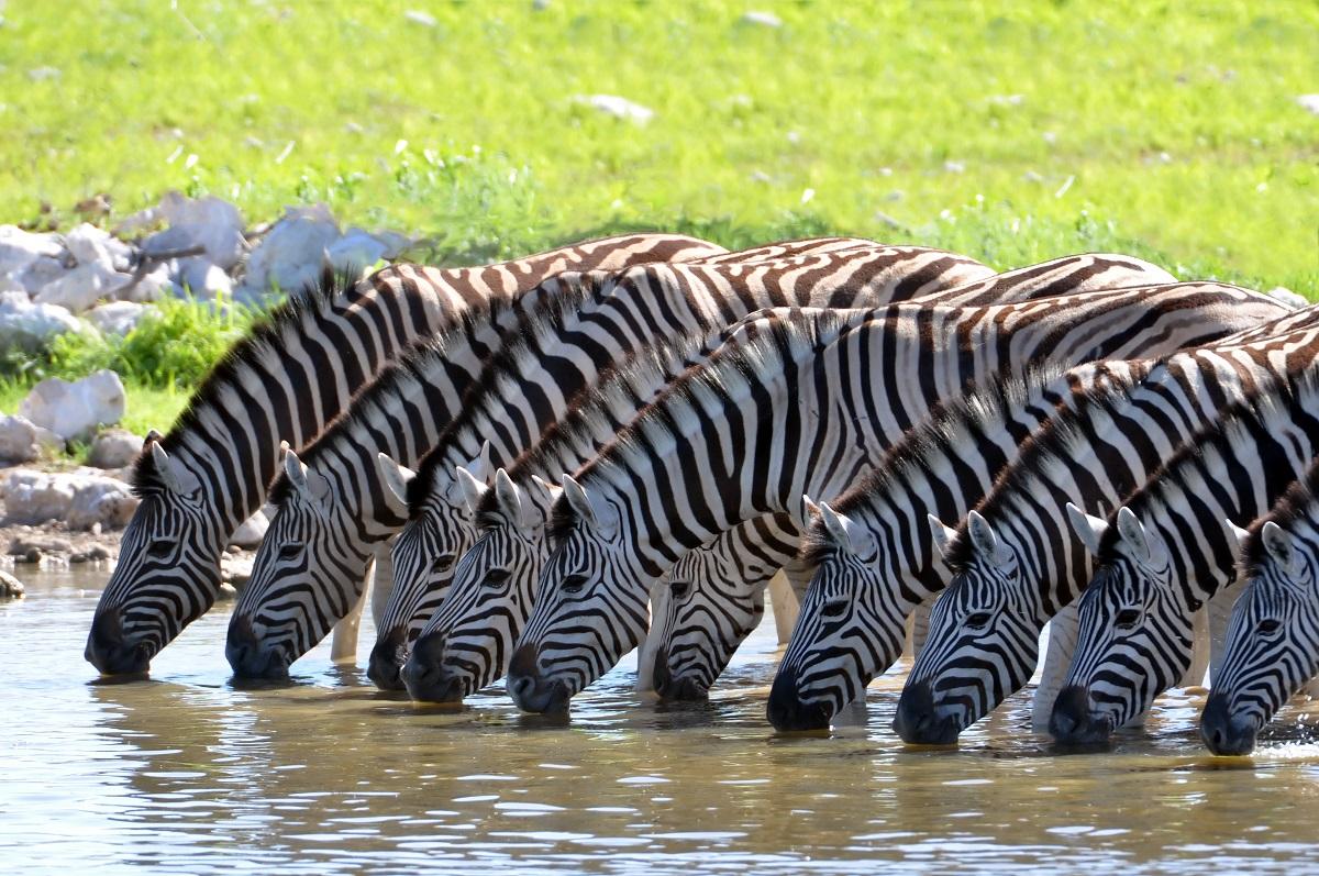 Zebras at the waterhole. Photo: lumen-digital/Shutterstock