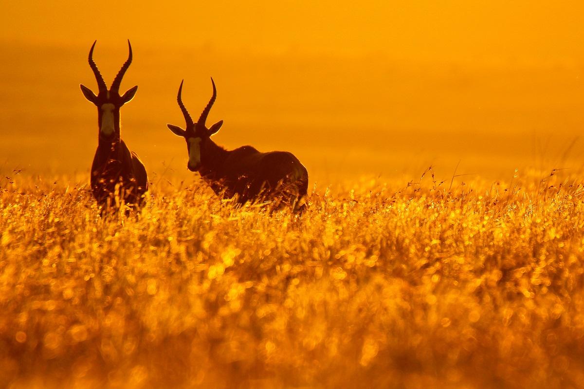 Bontebok pair standing in golden grass at sunset, Golden Gate National Park, South Africa. Photo: JMx Images/Shutterstock