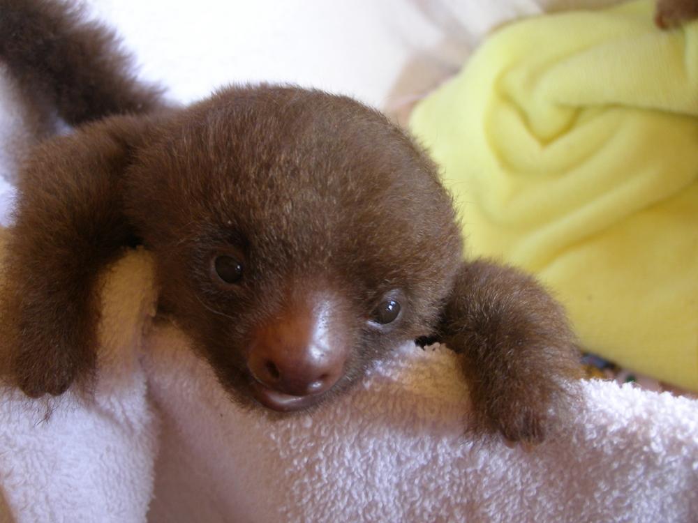 Baby sloth. Photo: Shutterstock