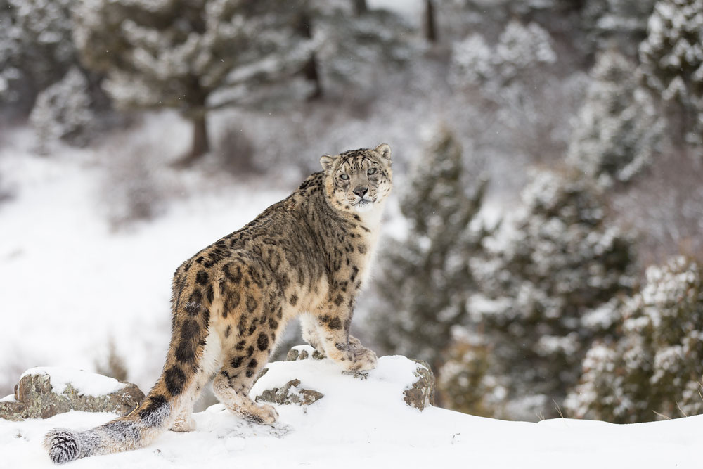 Snow Leopard. Photo: Shutterstock