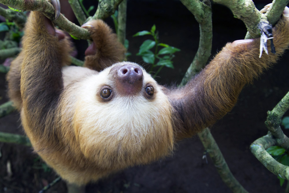 A young Hoffmann's two-toed sloth (Choloepus hoffmanni) in Puerto Viejo. Photo: Shutterstock