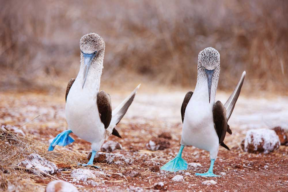 Couple of blue footed boobies from  Galápagos Islands. Photo: Shutterstock