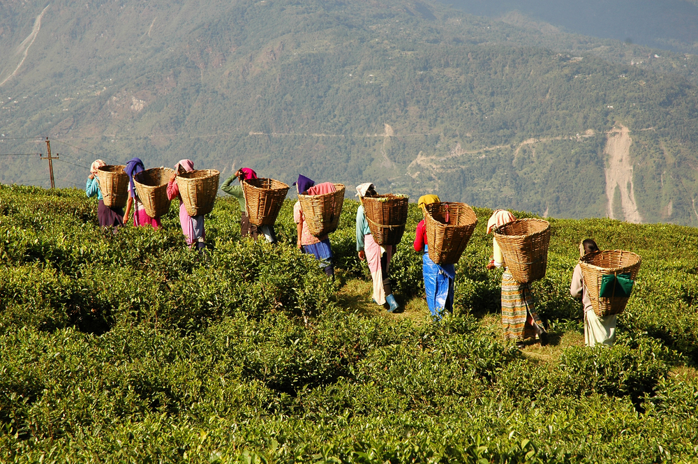 Tea pickers in the Cameron Highlands. Photo: Shutterstock