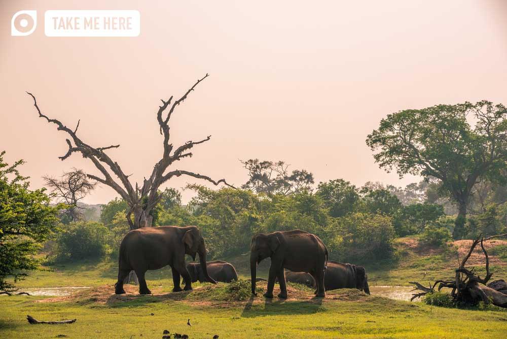 Wild elephants at jungle drinking place of Yala National Park.
