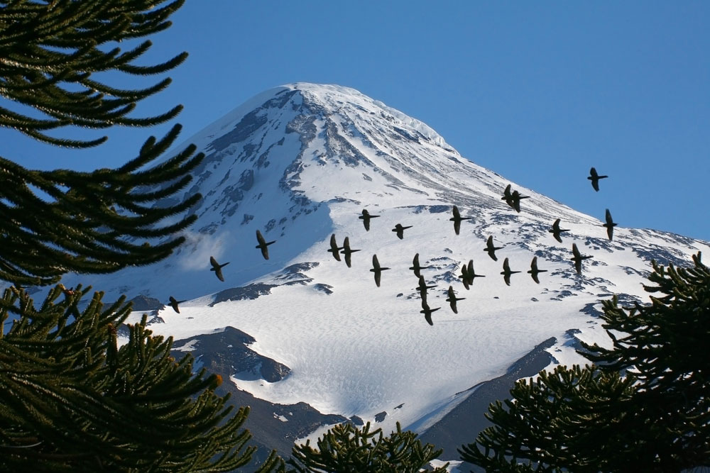 Austral Parakeets in front of Lanin Volcano, Lanin National Park, Patagonia, Argentina. Photo: Shutterstock