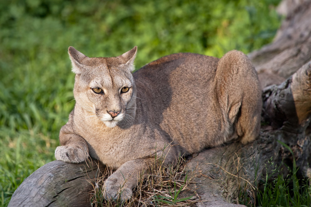 Puma concolor in Patagonia. Photo: Shutterstock