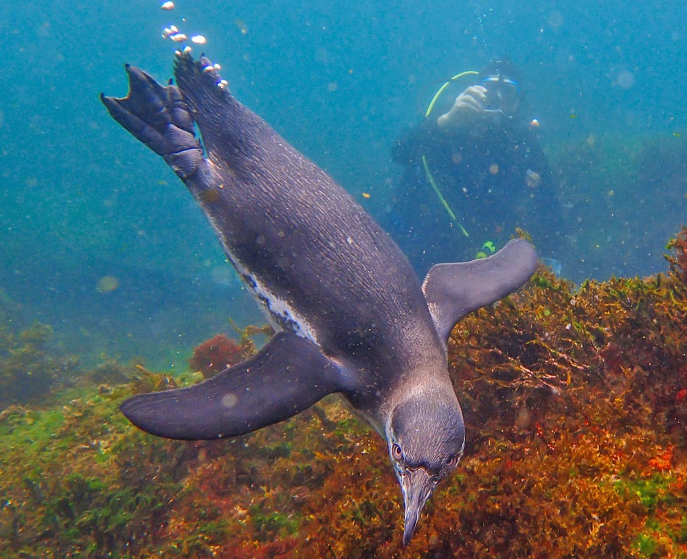 Endemic Galápagos penguin swimming underwater.