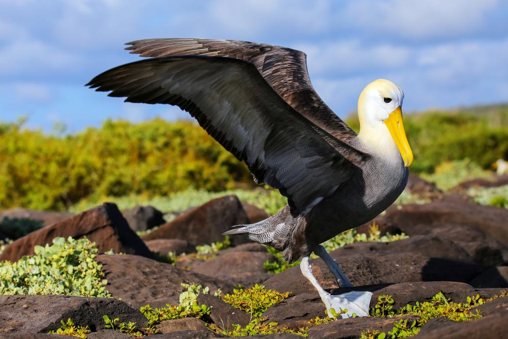 Waved albatross spreading its wings, Española Island, Ecuador.
