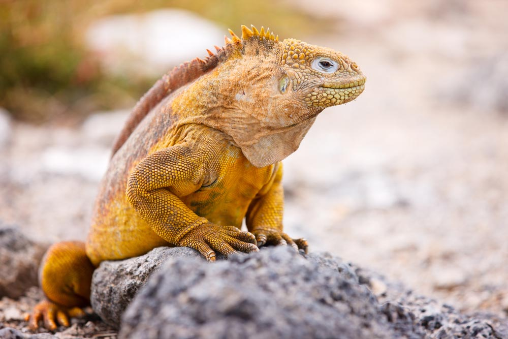 Land iguana in the Galápagos Islands, Ecuador.
