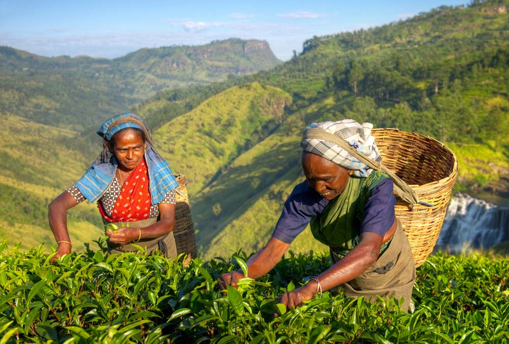 Female Tea Pickers in Plantage, Sri Lanka. Photo: Shutterstock