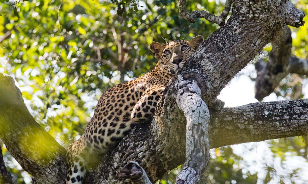 Sri Lankan leopard.