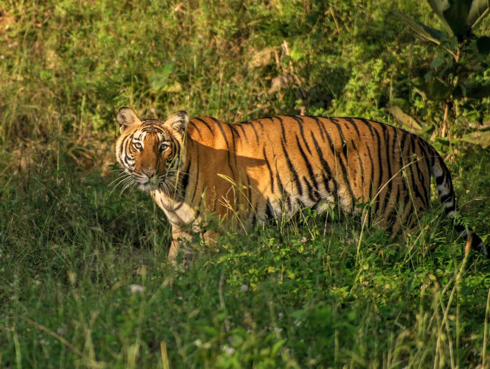 A tiger at Mudumalai National Park, Tamil Nadu.