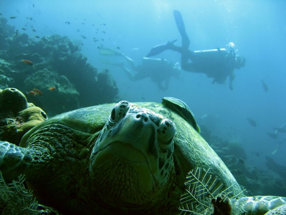 Scuba divers above old green turtle in Sabah. Photo: donsimon/Shutterstock